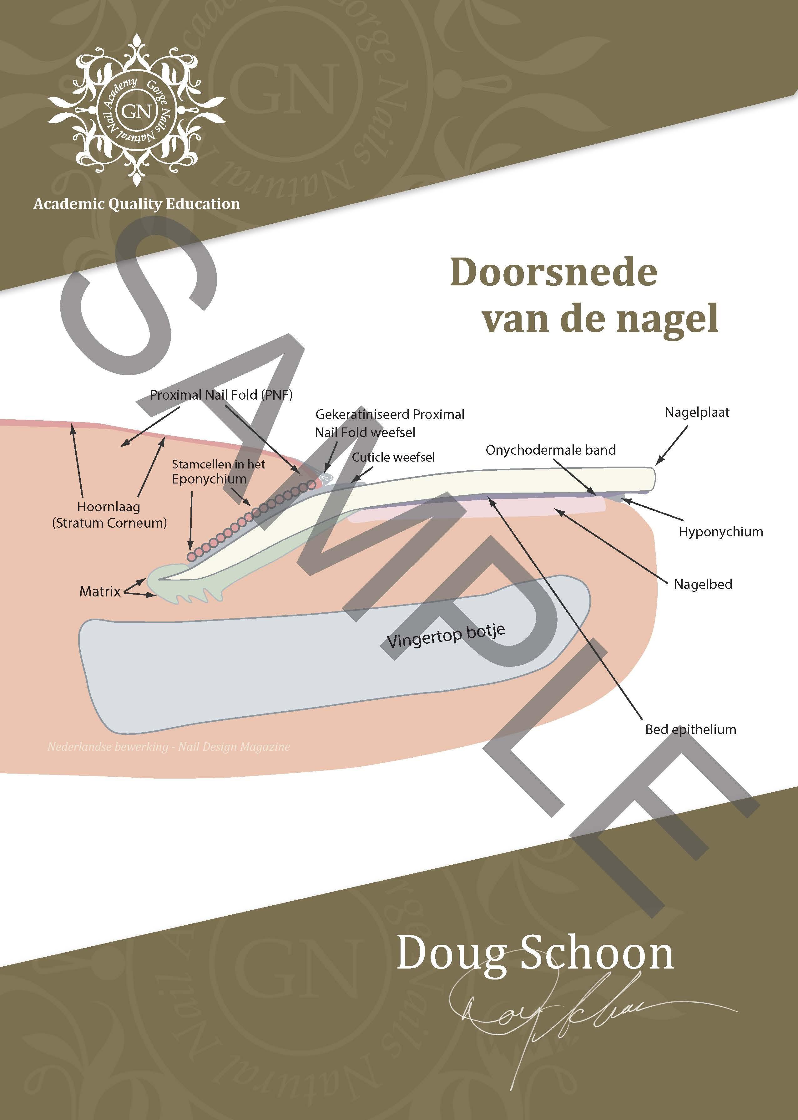 Doorsnede van de nagel  A4 Poster NL 1